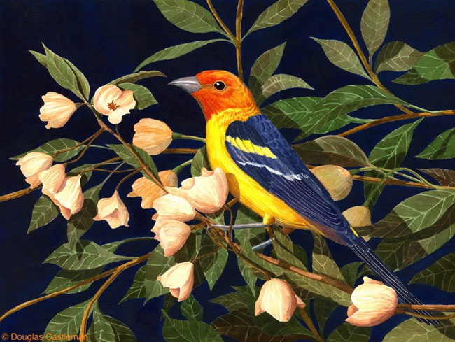 western-tanager-(big-file)